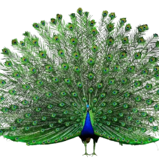 kisspng-peafowl-adobe-systems-peacock-opens-the-screen-5a8d0f454b1188.6536673915191939253075-1